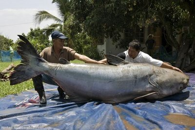 http://ferrebeekeeper.files.wordpress.com/2010/06/mekong-giant-catfish.jpg