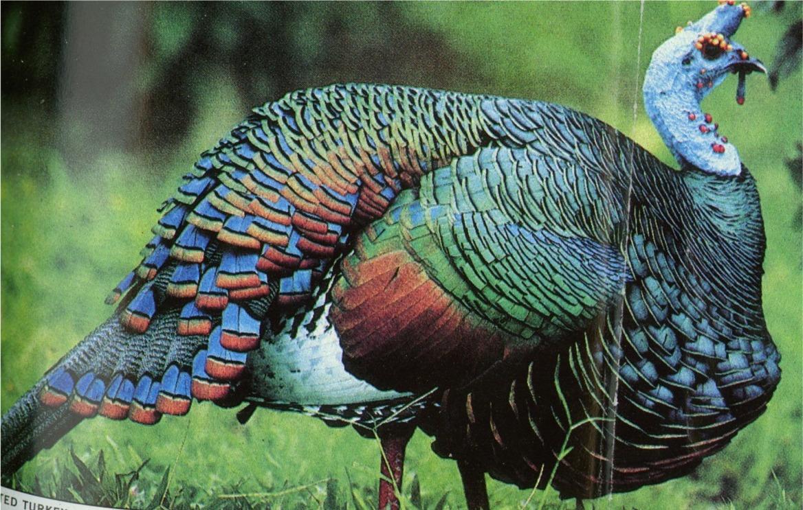 Wild Turkey Species - What Is It?