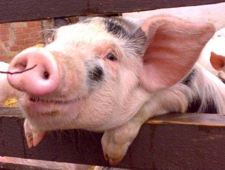 pig pigs cute feral animal smiling google piggy domestic holocaust pork happy smile spots piggie pink