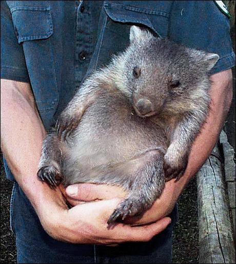 BBW tags Wombat