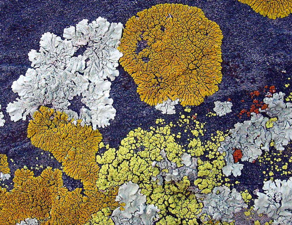 Lichens, the Great Colonizers | ferrebeekeeper  Lichens, the Gr...