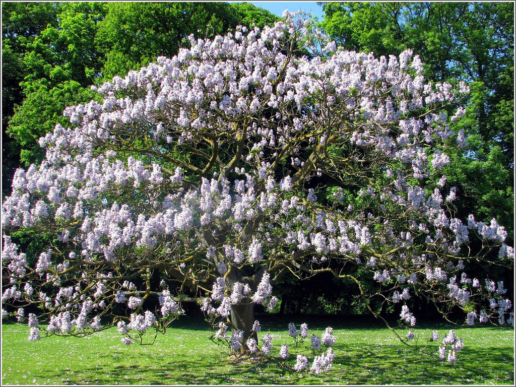 The empress tree ferrebeekeeper - Arbre persistant croissance rapide ...