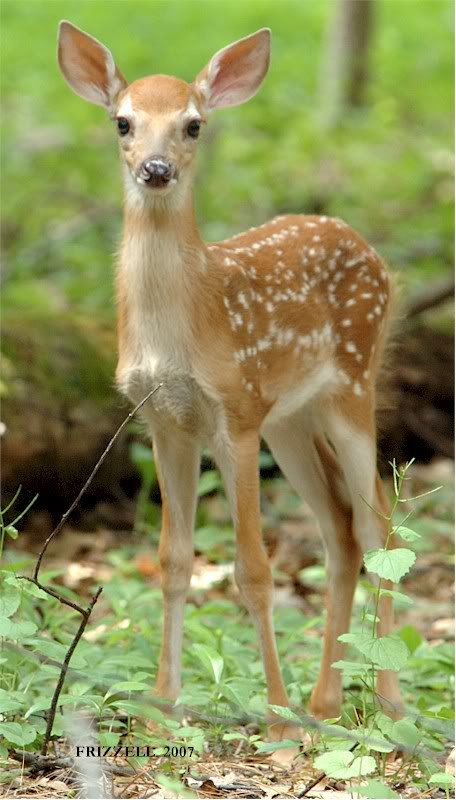 baby whitetail fawn in - photo #8