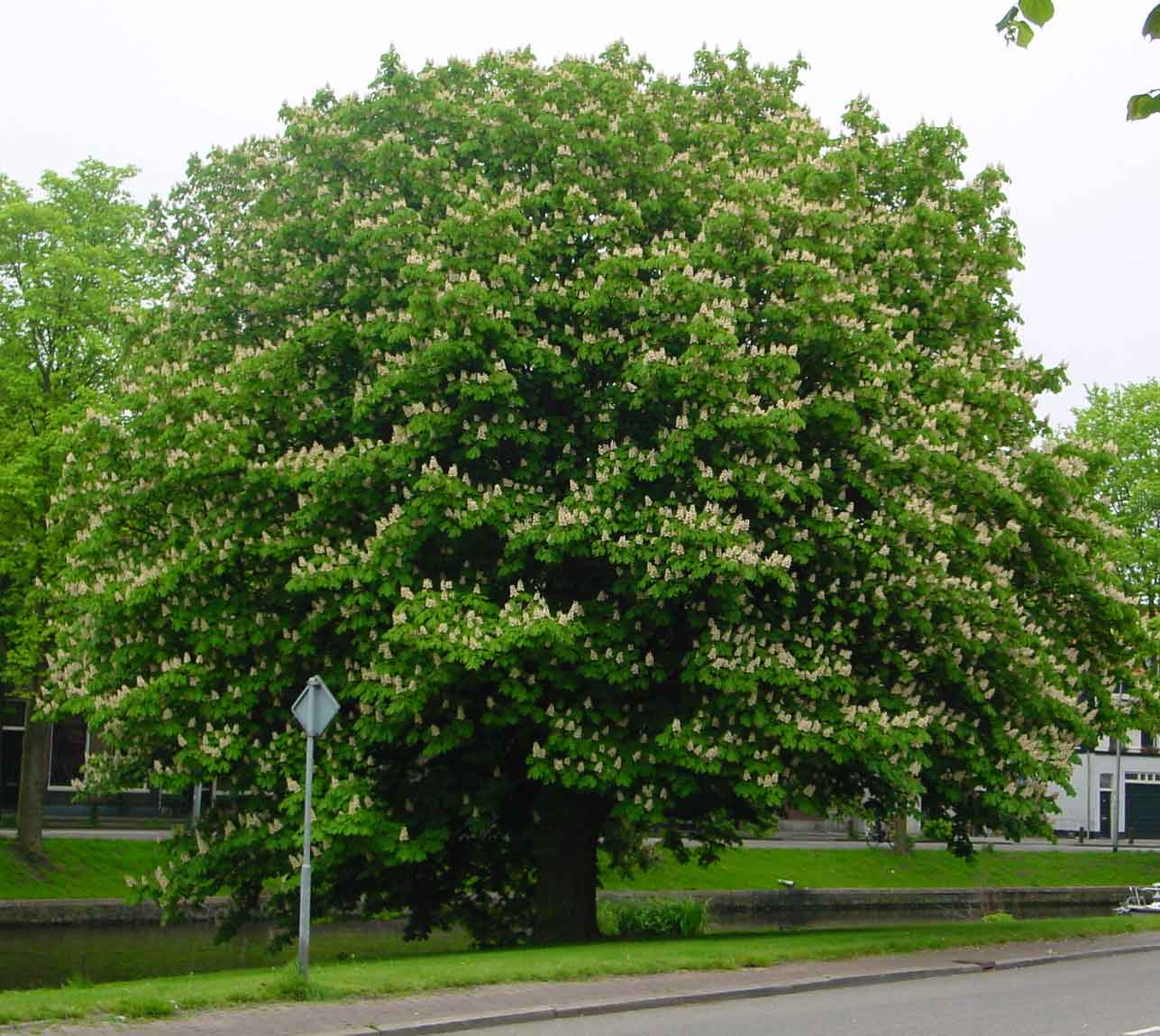 The Red Horse Chestnut Tree | ferrebeekeeper