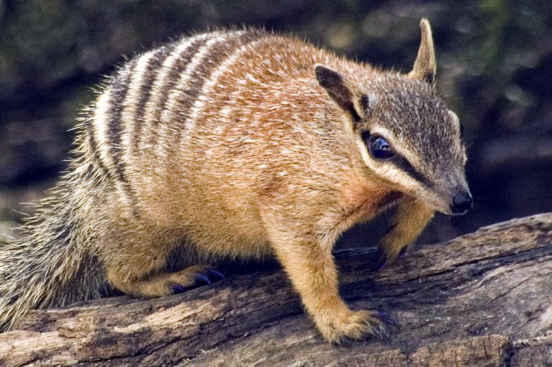 Numbat in addition Stock Illustration Hand Gesture Fuck You Symbol furthermore Numbat likewise How To Be e A Wildlife Biologist also Top 10 Most Hunted Animals 102770. on all about numbats