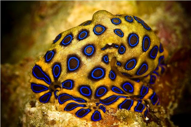 Blue octopus - photo#10