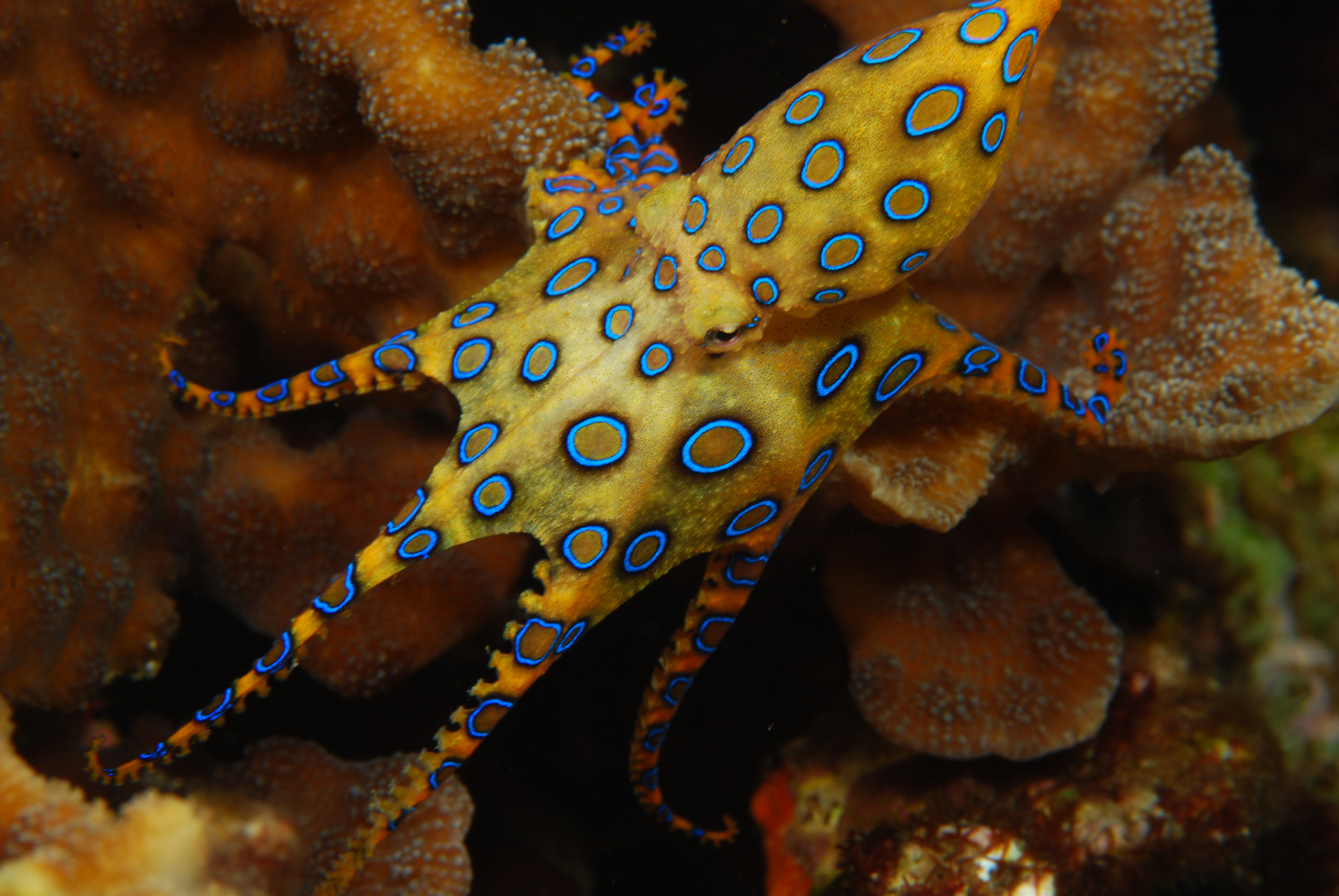 Blue-ringed octopus Minecraft Skin