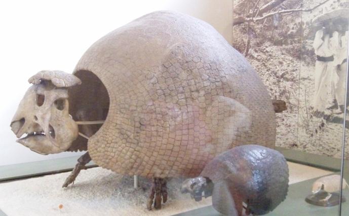 a fossil glyptodon