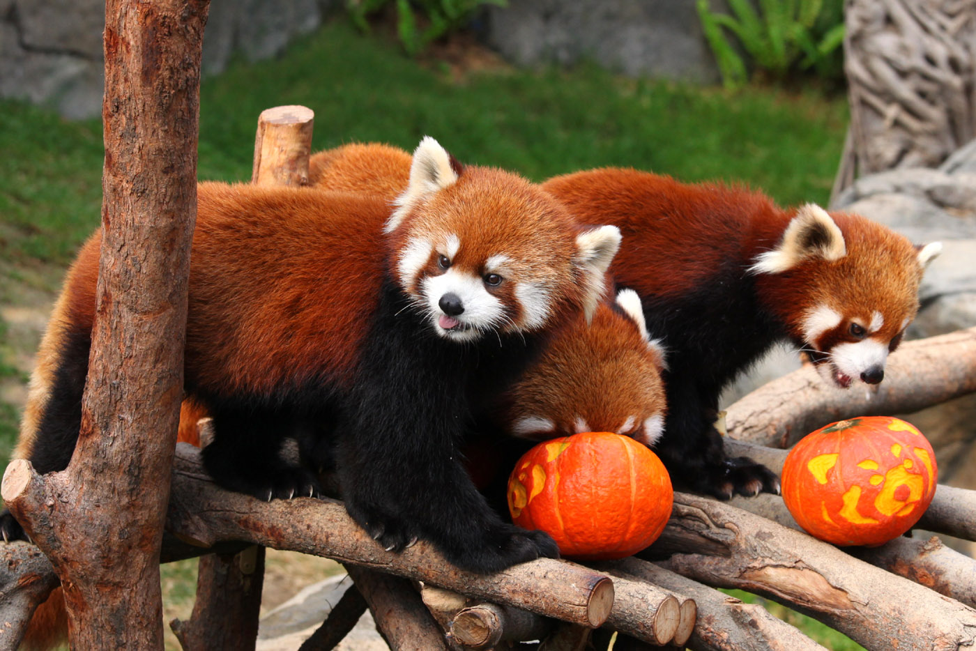 the red panda Where do they live red pandas live in dense bamboo forests of the himalaya mountain region a convenient diet since they live in bamboo forests, it only makes sense that the red panda's diet is mostly bamboo.