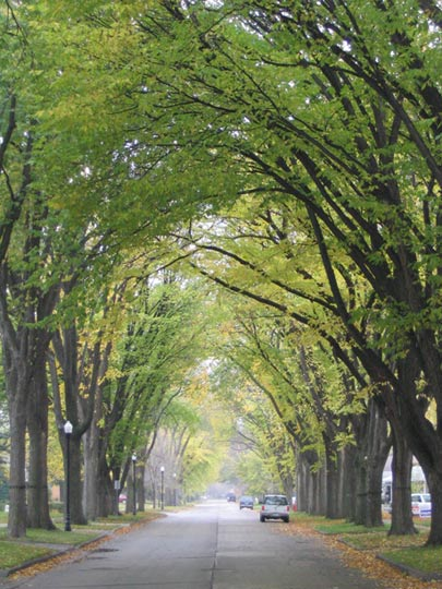 Dutch elm disease ferrebeekeeper for American elm