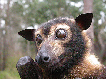 Australian Flying Fox Hands Australia | fer...
