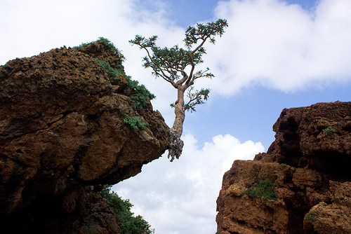 Frankincense Tree in Kerala a Boswellia Tree Frankincense