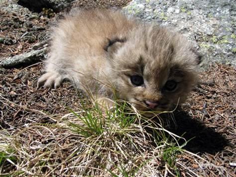 Baby Canadian Lynx Lynx