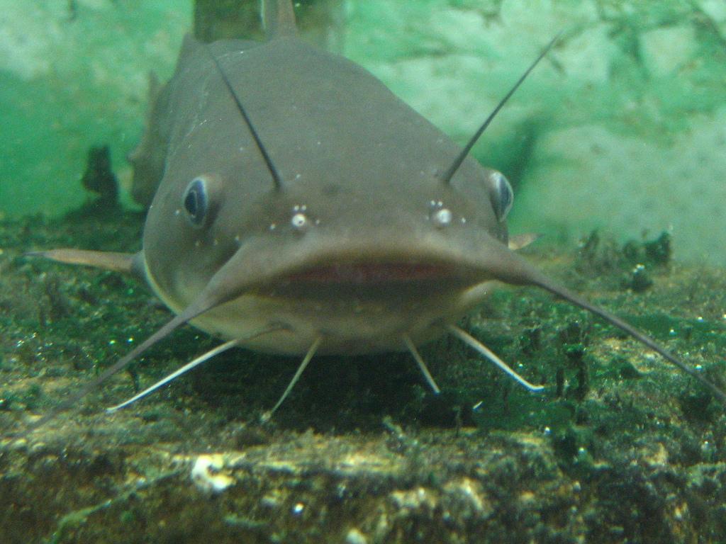 catfish.jpg
