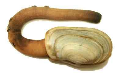 Geoduck Clam (Panopea generosa)