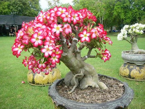 In Addition To Their Dazzling Flowers, Adenium Plants Are Known For Having  Bulbous Interestingly Shaped Caudexes. A Caudex Is The Woody Barrel Like ...