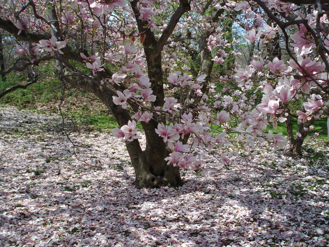Flowering magnolias ferrebeekeeper for Magnolia tree