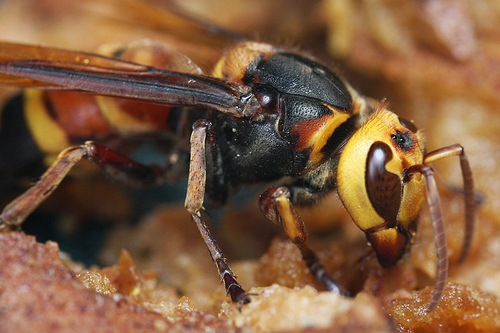 The World's Largest Hornet | ferrebeekeeper