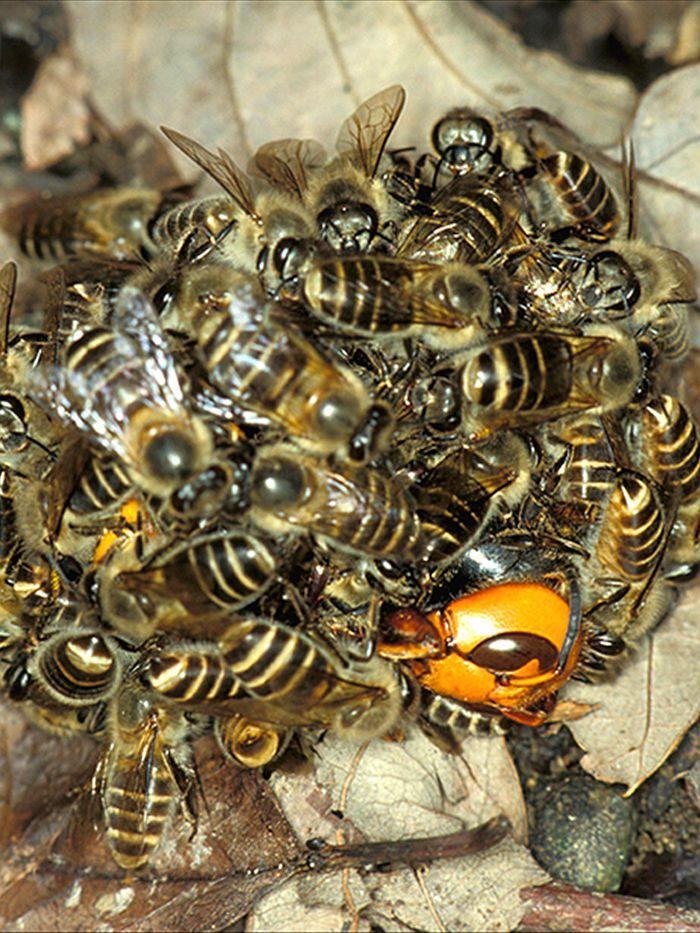 tag japanese giant hornet
