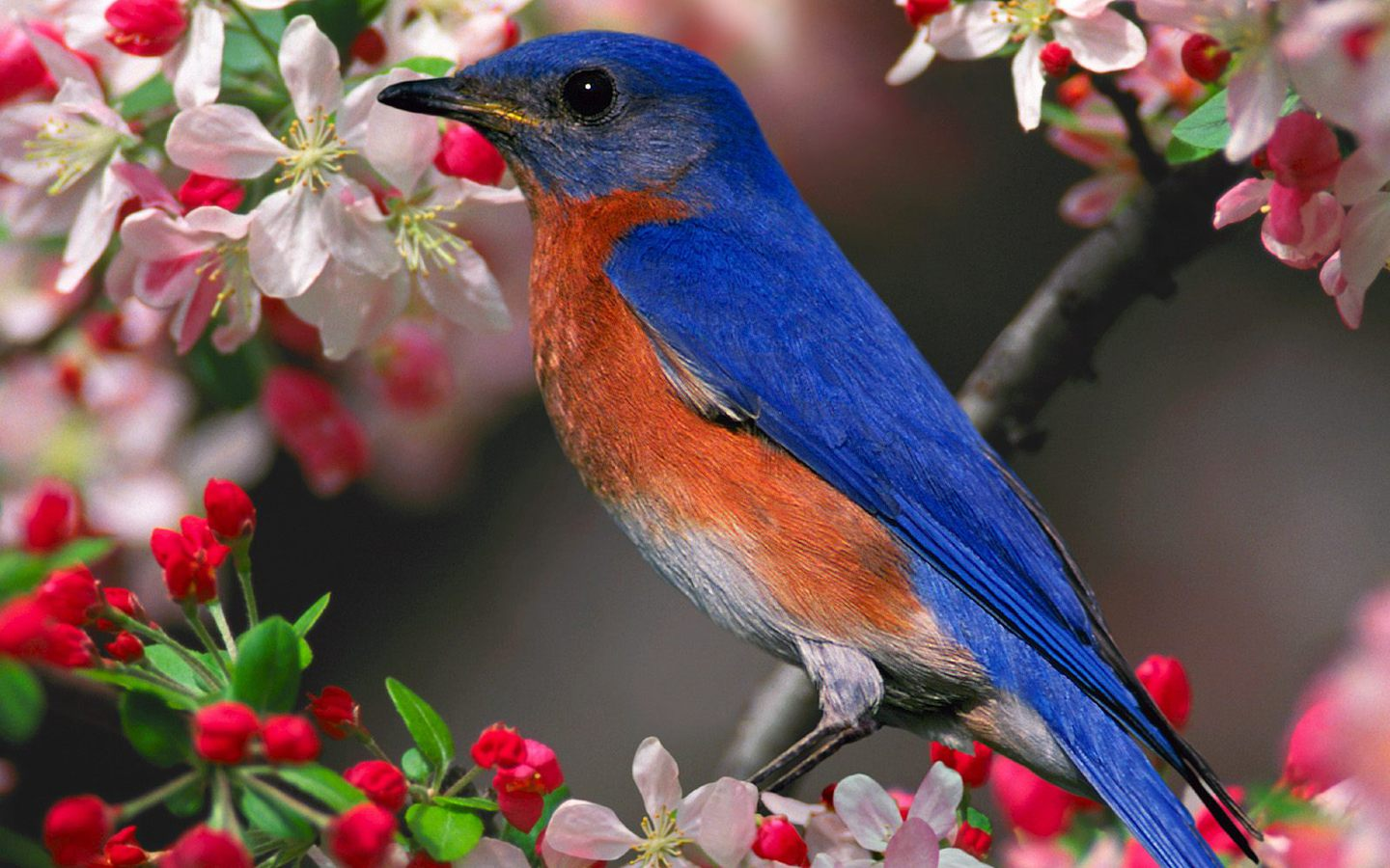 Popular Wallpaper Horse Colorful - bluebird-flower-wallpaper  Snapshot_277039.jpg