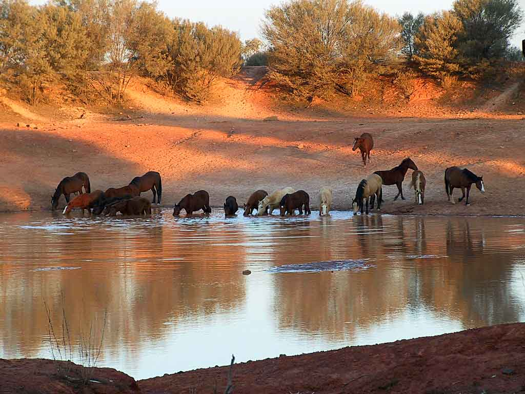 brumbies feral horses in australia Putting horses, mountains and the complexities of feral animal management to one side, this issue brings into very sharp focus the disdain our government shows for science being a clever country necessarily involves listening to our scientific community.