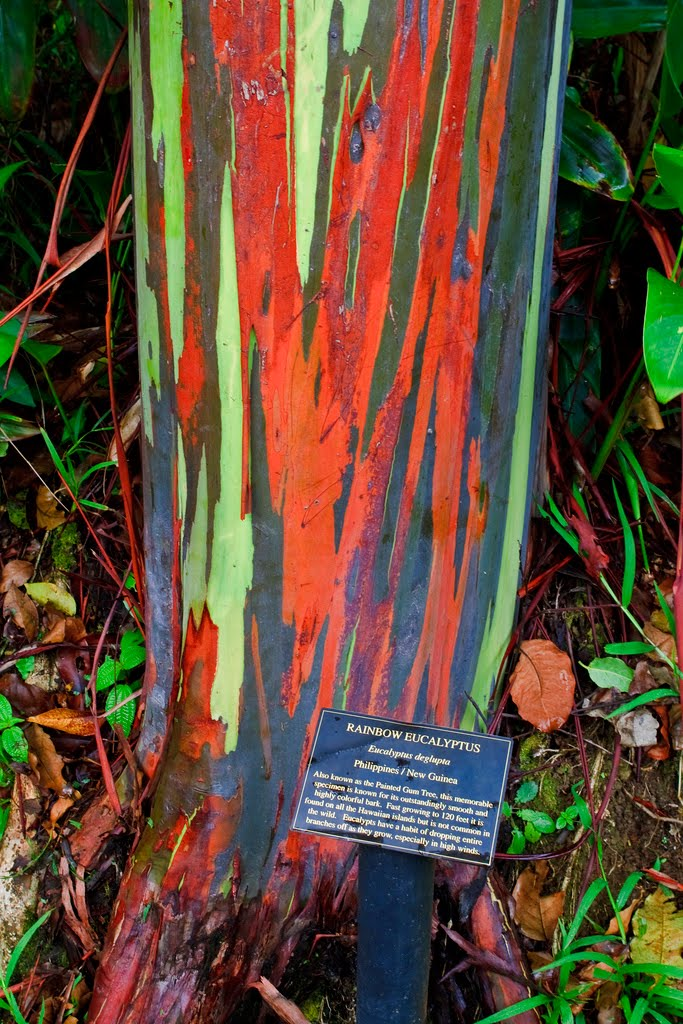 The Rainbow Eucalyptus Ferrebeekeeper