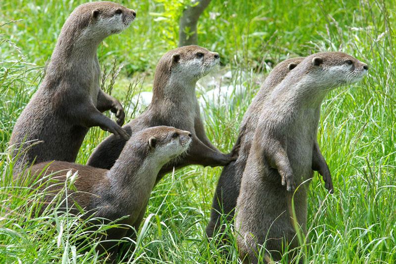 otters | ferrebeekeeper
