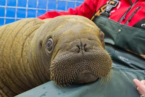 Mitik The Baby Walrus