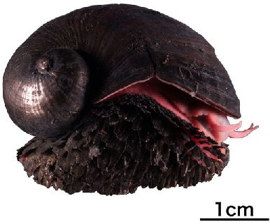 The Scaly Foot Gastropod (Crysomallon squamiferum)
