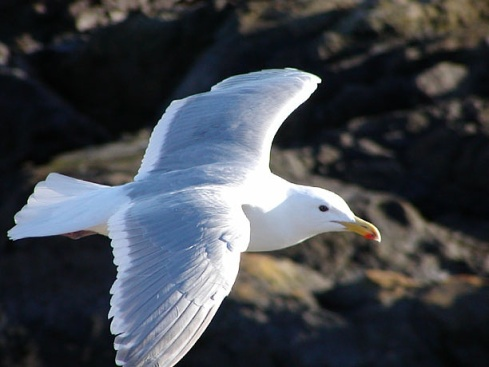 Glaucous Winged Gull (gull (Larus glaucescens)