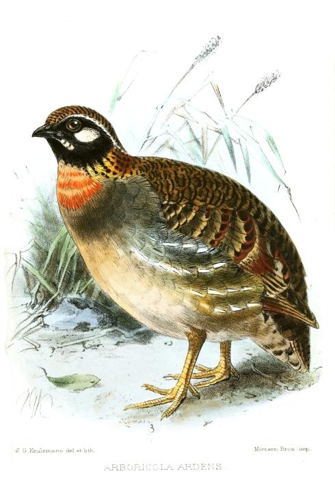 Hainan Partridge (Arborophila ardens)