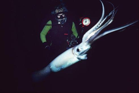A Humboldt Squid with a Diver
