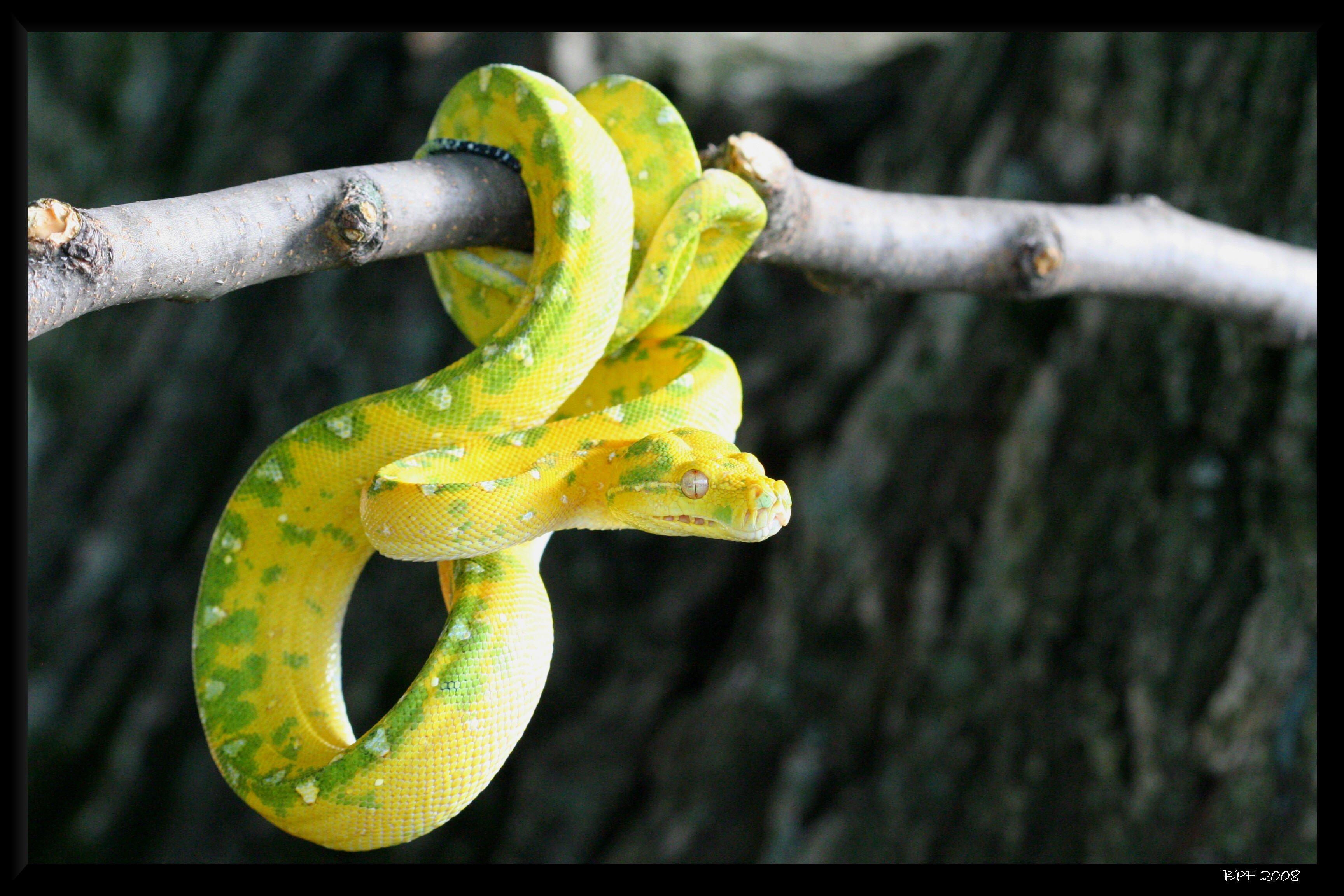 Green Tree Python (Morelia viridis) by bpfischer