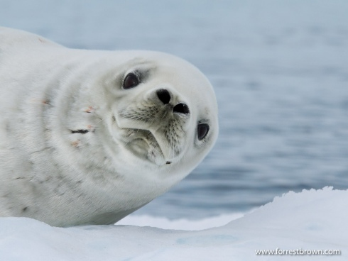 A Crabeater Seal (Lobodon carcinophagus)