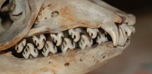 Crabeater Seal Teeth