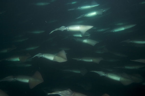A School of Humboldt Squid
