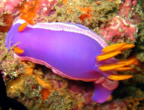 purple_nudi_a