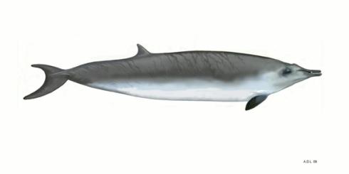 Sowerby's Beaked Whale (Mesoplodon bidens)