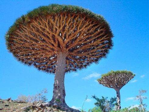 Dragon's Blood Tree (Dracaena cinnabari)
