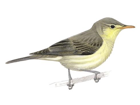 The Icterine Warbler (Hippolais icterina)