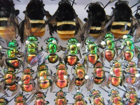 Museum specimens of orchid bees