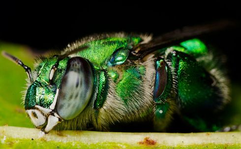 English: An orchid bee, Euglossa viridissima sleeping on a leaf. Miramar Florida (by Efram Goldberg)