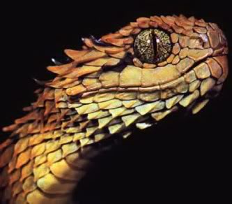 Atheris hispida