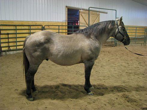 A grullo horse