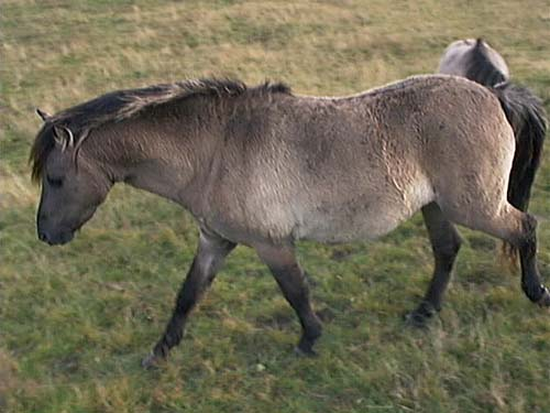 A Heck Horse