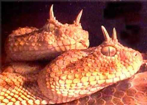 horned-viper-w