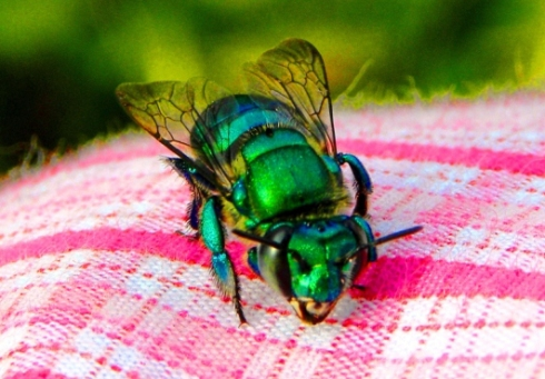 An Orchid Bee in Nicaragua (from whatsthatbug.com)