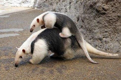 Southern Tamandua  (Tamandua tetradactyla) with baby