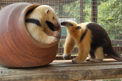 Northern Tamandua Anteaters (Tamandua mexicana) by Sara L Zering)