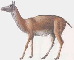 An artist's conception of Poebrotherium (an early camel)